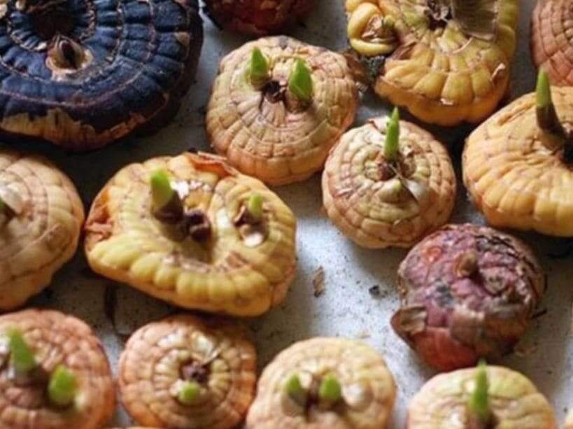 Хранение луковиц гладиолуса в квартире