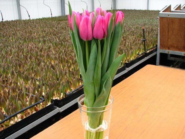 Как правильно хранить тюльпаны для продажи
