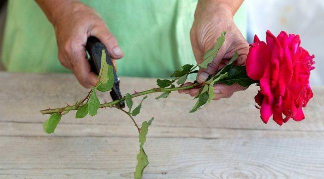 Как дольше всего сохранить срезанные розы в вазе