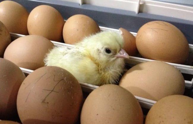 Правильное хранение яиц для инкубации