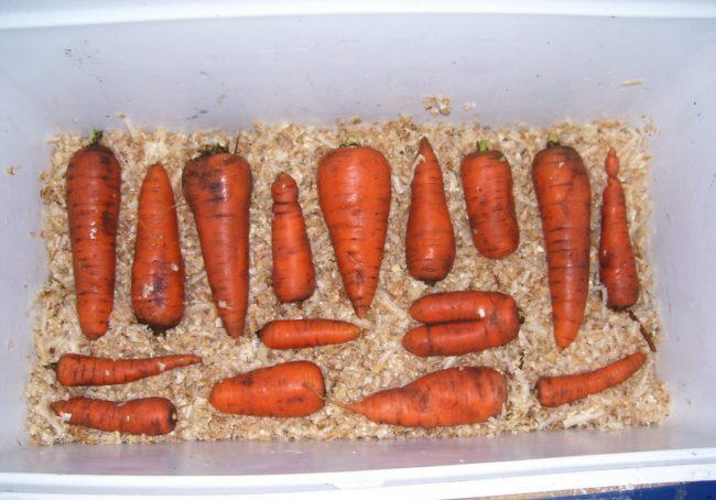 Сохраняем урожай моркови в зиму правильно