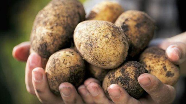 Урожай картофеля: как сохранить его до весны