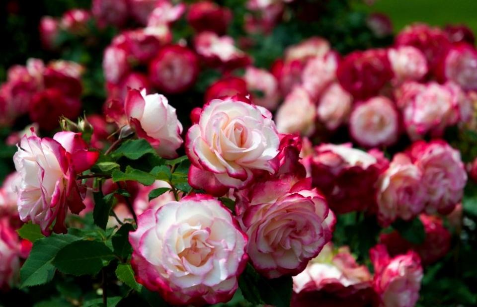Как правильно сохранить саженцы роз до посадки